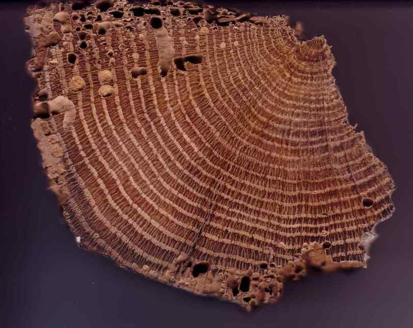 A section of oak tree rings