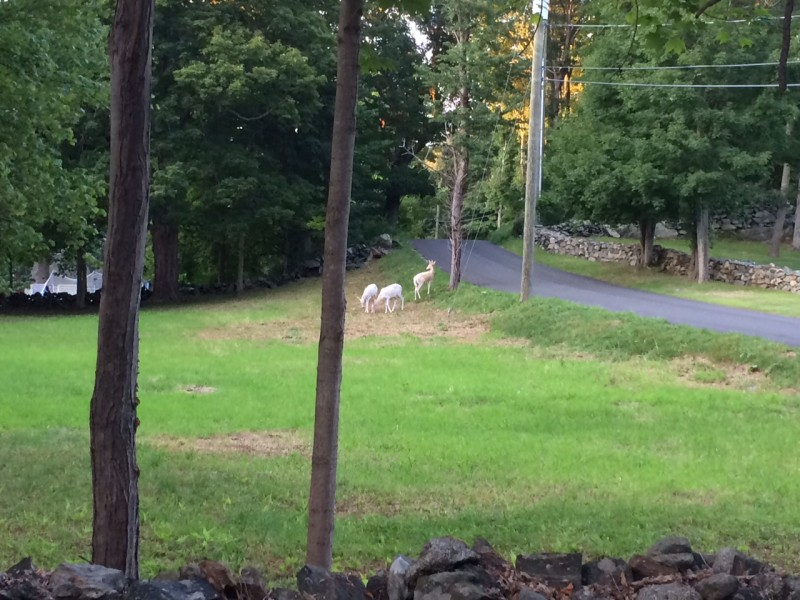 http://patch.com/connecticut/newtown/white-deer-spotted-newtown-0
